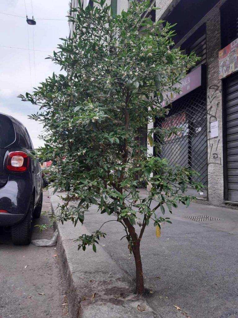 Un arbol en las calles de Italia, sin maceta